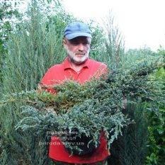 Можжевельник чешуйчатый Блю Карпет (Juniperus squamata Blue Carpet) ФОТО Питомник растений Природа (Priroda) (274)