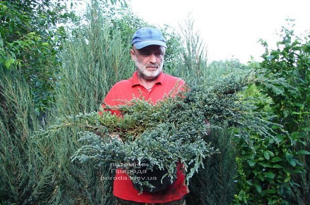 Можжевельник чешуйчатый Блю Карпет (Juniperus squamata Blue Carpet) ФОТО Питомник растений Природа (Priroda)