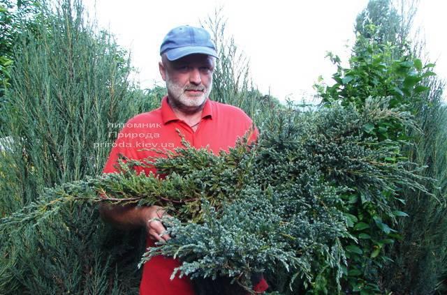 Можжевельник чешуйчатый Блю Карпет (Juniperus squamata Blue Carpet) ФОТО Питомник растений Природа (Priroda) (275)