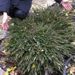 Можжевельник горизонтальный Андорра Вариегата (Juniperus horizontalis Andorra Variegata) ФОТО Питомник растений Природа (Priroda) (267)