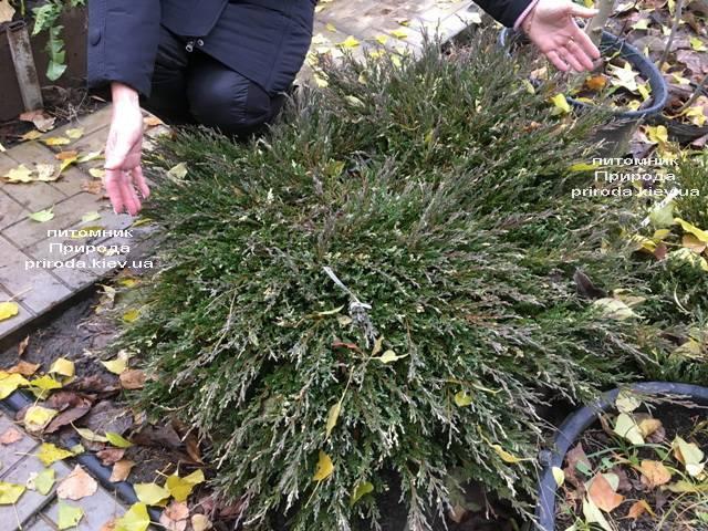 Можжевельник горизонтальный Андорра Вариегата (Juniperus horizontalis Andorra Variegata) ФОТО Питомник растений Природа (Priroda)