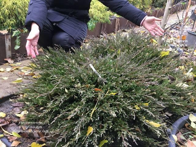 Можжевельник горизонтальный Андорра Вариегата (Juniperus horizontalis Andorra Variegata) ФОТО Питомник растений Природа (Priroda) (268)