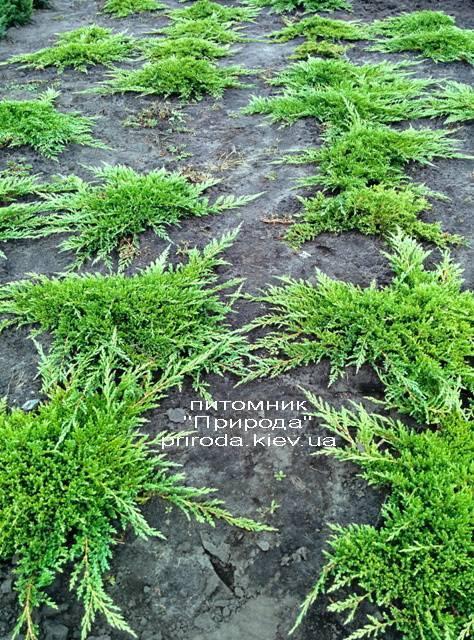 Можжевельник горизонтальный Принц Уэльский (Juniper horizontalis Prince of Wales) ФОТО Питомник растений Природа (Priroda) (272)