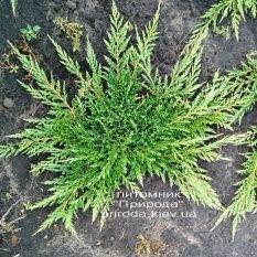 Можжевельник горизонтальный Принц Уэльский (Juniper horizontalis Prince of Wales) ФОТО Питомник растений Природа (Priroda)