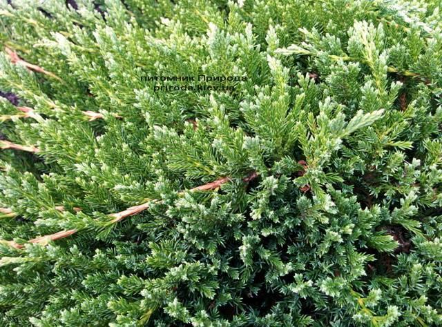 Можжевельник горизонтальный Принц Уэльский (Juniper horizontalis Prince of Wales) ФОТО Питомник растений Природа (Priroda) (270)