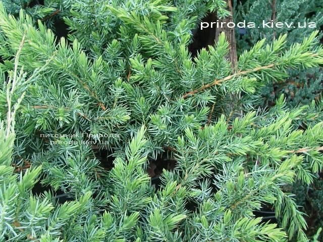 Можжевельник прибрежный Шлягер (Juniperus conferta Schlager) ФОТО Питомник растений Природа (Priroda)