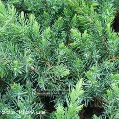 Можжевельник прибрежный Шлягер (Juniperus conferta Schlager) ФОТО Питомник растений Природа (Priroda) (281)
