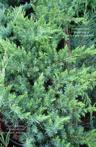 Можжевельник прибрежный Шлягер (Juniperus conferta Schlager) ФОТО Питомник растений Природа (Priroda) (282)