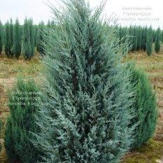 Можжевельник скальный Мунглов (Juniperus scopolorum Moonglow) ФОТО Питомник растений Природа (Priroda)