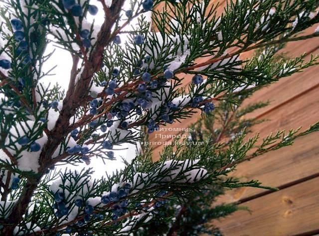 Можжевельник средний / пфитцериана Минт Джулеп (Mint Julep) зимой ФОТО Питомника растений Природа (Priroda) (293)