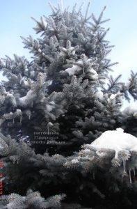 Питомник растений Природа зимой ФОТО (14)