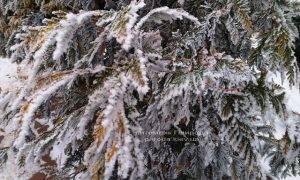Питомник растений Природа зимой ФОТО (18)