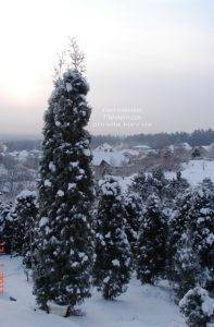 Питомник растений Природа зимой ФОТО (2)