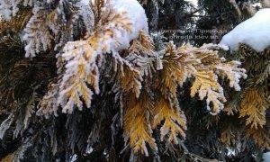 Питомник растений Природа зимой ФОТО (21)