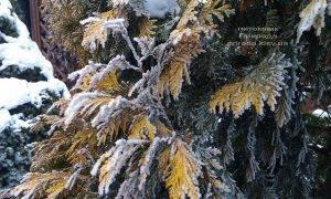 Питомник растений Природа зимой ФОТО (22)