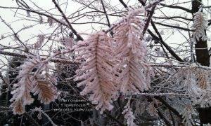 Питомник растений Природа зимой ФОТО (27)