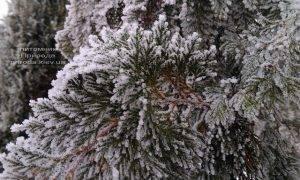 Питомник растений Природа зимой ФОТО (32)