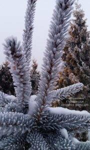 Питомник растений Природа зимой ФОТО (33)