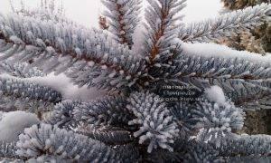 Питомник растений Природа зимой ФОТО (34)