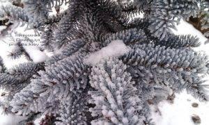 Питомник растений Природа зимой ФОТО (35)