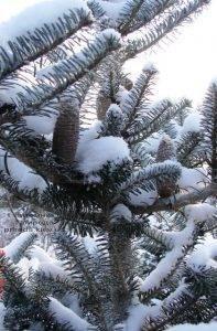 Питомник растений Природа зимой ФОТО (4)