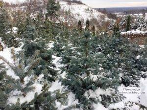 Питомник растений Природа зимой ФОТО (40)