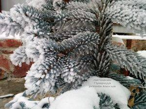 Питомник растений Природа зимой ФОТО (43)