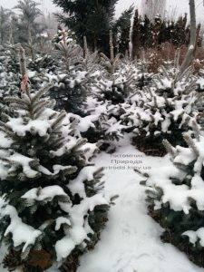 Питомник растений Природа зимой ФОТО (45)