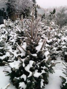 Питомник растений Природа зимой ФОТО (46)