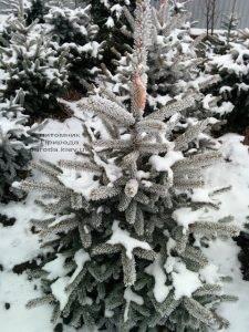 Питомник растений Природа зимой ФОТО (47)