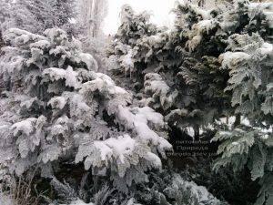 Питомник растений Природа зимой ФОТО (56)