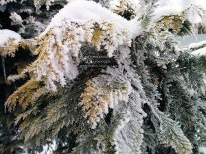 Питомник растений Природа зимой ФОТО (57)