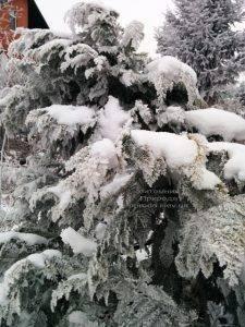 Питомник растений Природа зимой ФОТО (58)