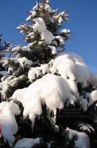 Питомник растений Природа зимой ФОТО (6)