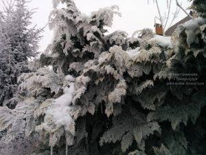Питомник растений Природа зимой ФОТО (61)
