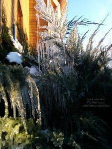 Питомник растений Природа зимой ФОТО (65)