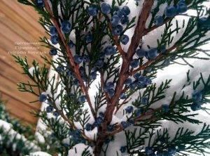Питомник растений Природа зимой ФОТО (70)
