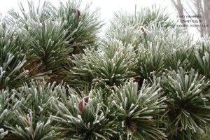 Питомник растений Природа зимой ФОТО (73)