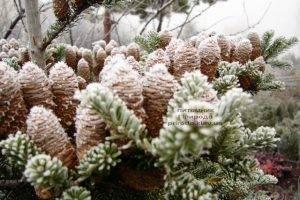 Питомник растений Природа зимой ФОТО (74)