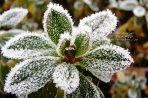 Питомник растений Природа зимой ФОТО (75)