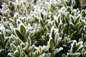 Питомник растений Природа зимой ФОТО (76)