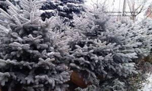 Питомник растений Природа зимой ФОТО (83)