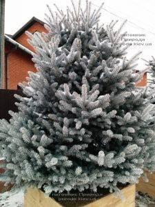 Питомник растений Природа зимой ФОТО (86)