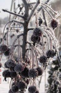 Питомник растений Природа зимой ФОТО (9)