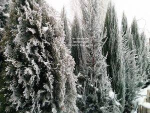 Питомник растений Природа зимой ФОТО (90)