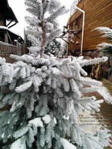 Питомник растений Природа зимой ФОТО (92)