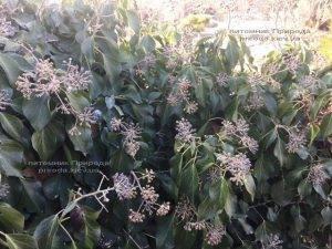 Плющ обыкновенный садовый (Hedera helix) ФОТО Питомник растений Природа (Priroda) (17)