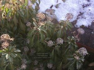 Плющ обыкновенный садовый (Hedera helix) ФОТО Питомник растений Природа (Priroda) (26)