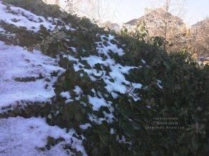 Плющ обыкновенный садовый (Hedera helix) ФОТО Питомник растений Природа (Priroda) (27)