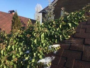 Плющ обыкновенный садовый (Hedera helix) ФОТО Питомник растений Природа (Priroda) (28)